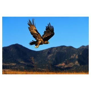Golden Eagle Posters & Prints