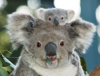 Australian Koala Bear Resin 3D Fridge Magnet