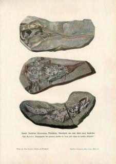 C1900 Prehistoric Fish Fossils Antique Litho Print H Kraemer