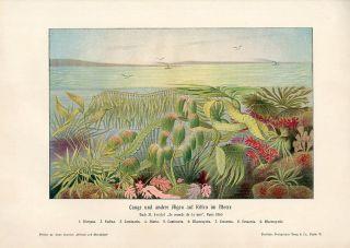 C1900 Marine Algae Seaweeds Antique Litho Print H Kraemer