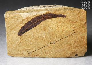 Fossil Leaf Hardwood Utah Fossils Minerals Crystals Rocks Fossilized 2