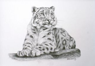 Snow Leopard Sarah Stribbling Original Pencil Drawing