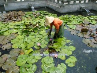 10 Live Madam Wilfron Water Lily Plants Lotus Freedoc