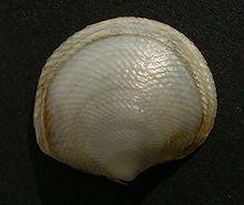 Box of 1 300 Buttercup Lucine Seashells Florida Beach Ocean Sea