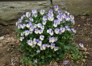 Viola Rebecca Live Plant Fragrant Vanilla Scented Flowers Violet