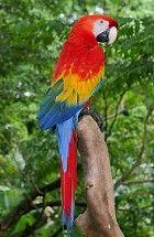 Raymond Waites Scarlet Macaw  Parrot Cookie Jar