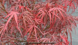Hupps Red Willow Japanese Maple 3 Year Tree