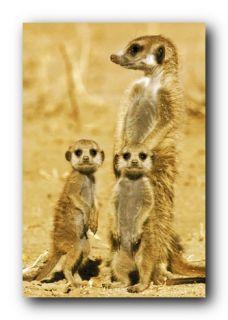 Meerkats Poster Animal Family Wildlife 33459