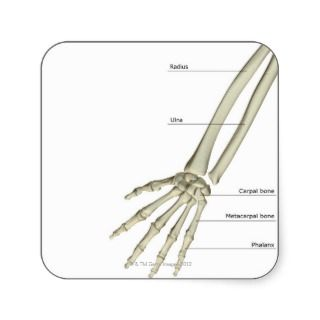 Bones of the Forearm Square Sticker