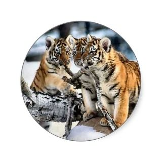 Three Tiger Cubs In Snow Art Gifts Stickers