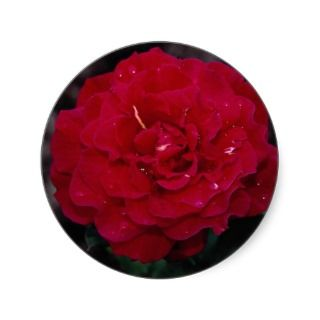 Beautiful Hybrid Tea Rose Mister Lincoln Sticker