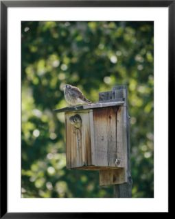 common kestrels nest in a bird house Pre made Frame