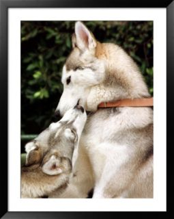 Two Dogs, Siberian Husky Breed, Play with Each Other Pre made Frame