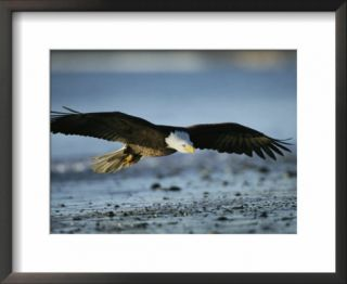 An American Bald Eagle Soars Above the Shoreline Pre made Frame