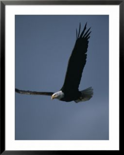 An American bald eagle in flight Pre made Frame