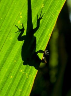 Little Gecko Behind a Illuminated Palm Leaf, Vallee De Mai, Praslin, Seychelles, Africa Photographic Print