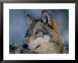 Gray wolf at the International Wolf Center Pre made Frame
