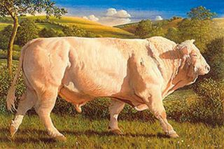 Charolais Bull Premium Giclee Print by James Lynch