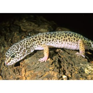 Jumbo Leopard Gecko   Reptile   Live Pet