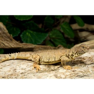 Mali Uromastyx   Reptile   Live Pet