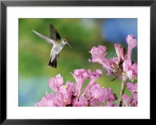 Mangrove Hummingbird, Male Visiting Flowers of Tabebuia Impetiginosa, Costa Rica Framed Photographic Print