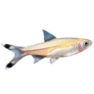 Aquarium fish live fish for sale for Petsmart live fish