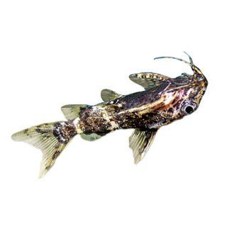 Synodontis Longirostris   Tropical   Fish