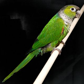 Black Cap Conure   Bird   Live Pet