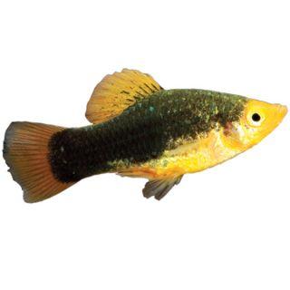Redtailed Black Variatus   Tropical   Fish