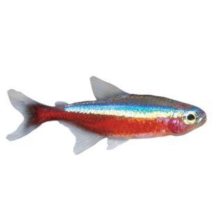 Cardinal Tetra   Tropical   Fish