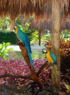 Two Blue and Gold Macaws Perched Under Thatched Roof Photographic Print by Lisa S. Engelbrecht