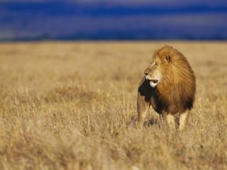 Male African Lion on Savanna Photographic Print by Joe McDonald