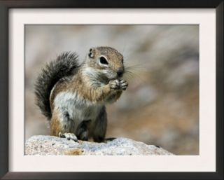 Harris Antelope Squirrel Feeding on Seed. Organ Pipe Cactus National Monument, Arizona, USA Prints by Philippe Clement