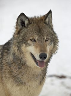 Gray Wolf (Canis Lupus) in Snow in Captivity, Near Bozeman, Montana Photographic Print