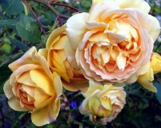 Englische Rose Golden Celebration ® Ausgold ®