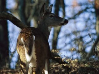 A White Tailed Deer Standing in the Woods Photographic Print by Raymond Gehman