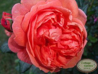 Eglische Rose Sommer Song  R ~ die Töne des Rosensommer