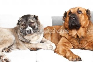 Caucasian shepherd dogs  Stock Photo © Андрей Музыка